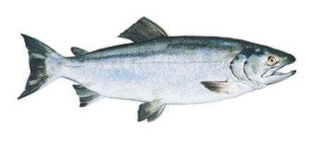 Contents - Keta Salmon