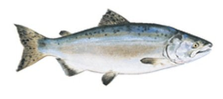 Contents - Pink Salmon