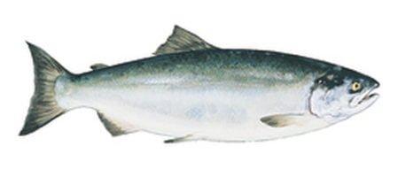 Contents - Sockeye Salmon